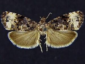 Endothenia rubipunctana