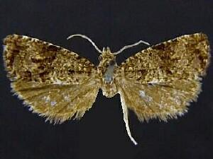 Endothenia conditana