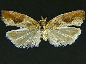 Epinotia septemberana