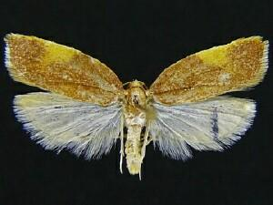 Acleris foliana