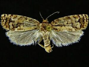 Cudonigera houstonana
