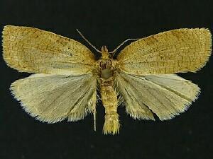 moth photographers group – aphelia alleniana – 3675