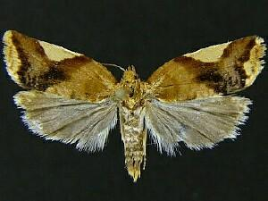 Clepsis persicana