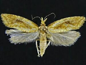 Aethes biscana