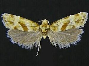 Aethes kindermanniana
