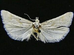 Eugnosta willettana