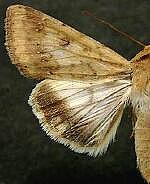 Helicoverpa zea