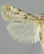 Scoparia palloralis