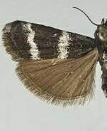Catastia bistriatella
