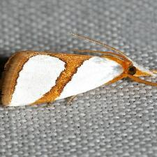 Vaxi auratellus