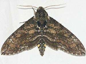 Moth Photographers Group Living Moths Plate 20f Sphingidae