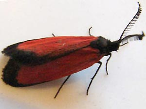 Pyromorpha latercula