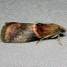 Acrobasis demotella