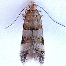 Theisoa multifasciella