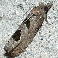 Eucosma tomonana