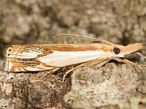 Crambus agitatellus