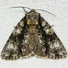 Acronicta superans