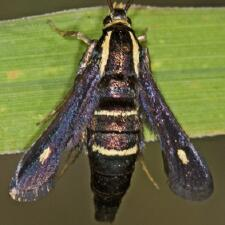 Carmenta anthracipennis
