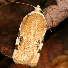 Acleris cervinana