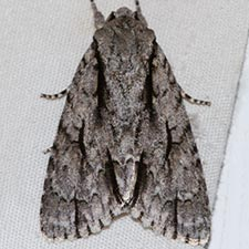 Acronicta texana