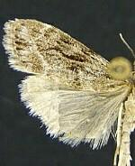 Scoparia blanchardi