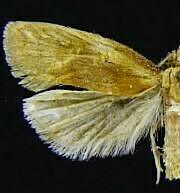 Aethes floccosana